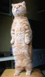 cat-standing